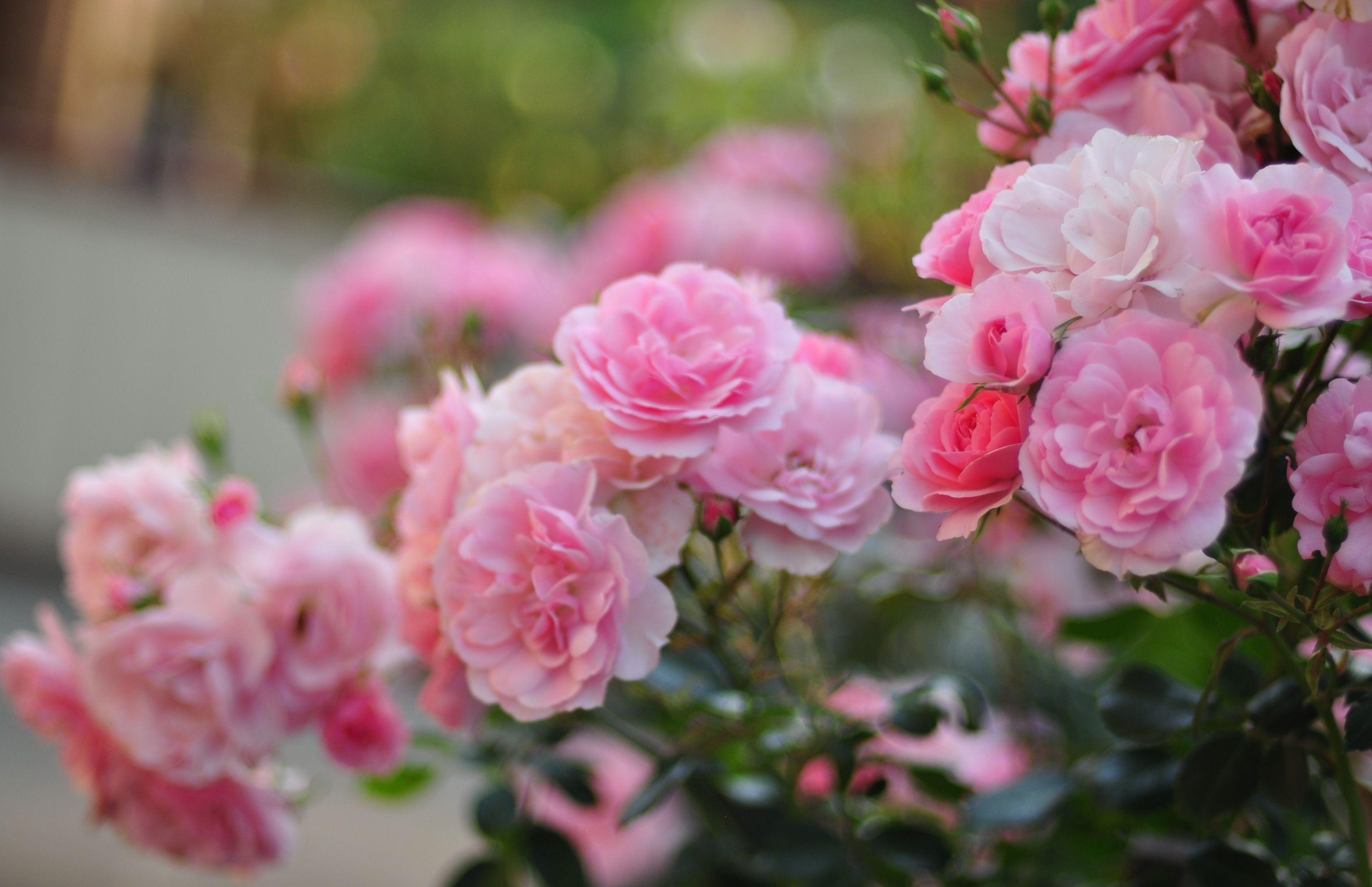 terre/nature - fleur - nature - roses - rose fond d'écran | fleur
