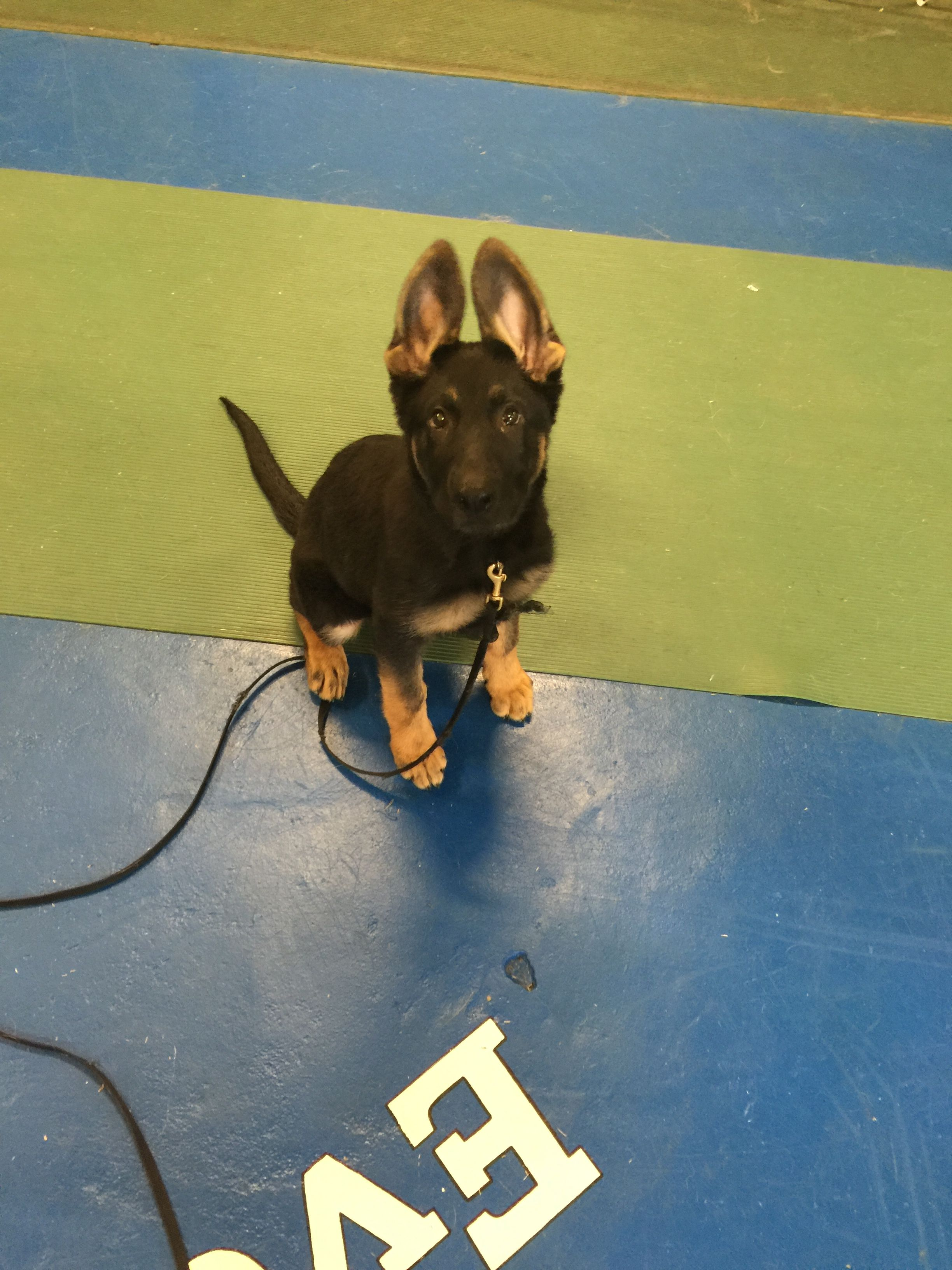 I M All Ears Puppies Of Club Canine