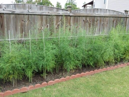 Growing Asparagus In Raised Beds
