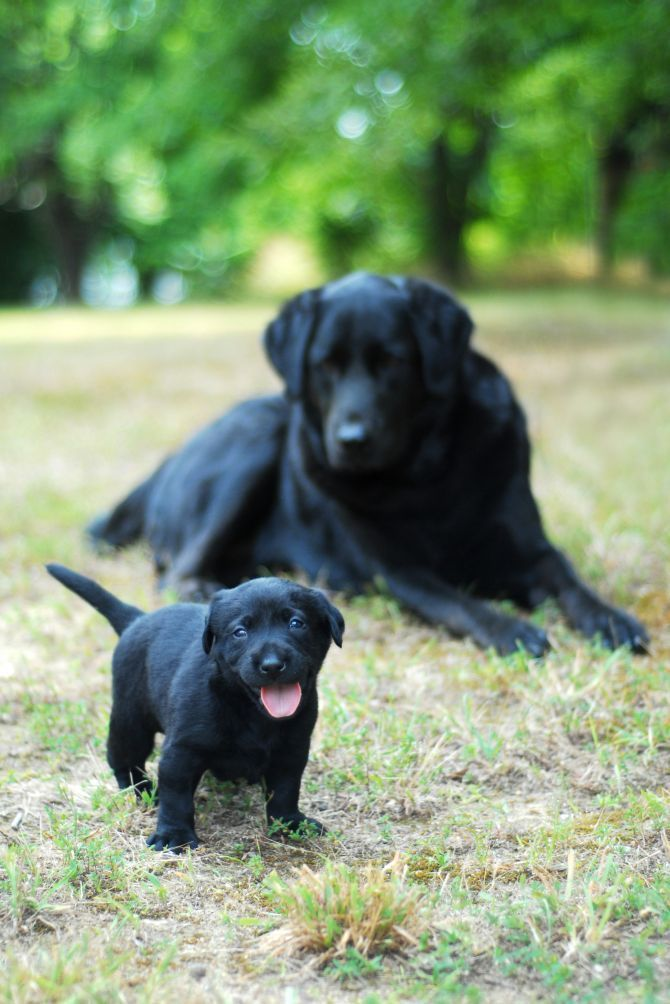 Black Labrador puppy with its mother. Hundebabys, Süße
