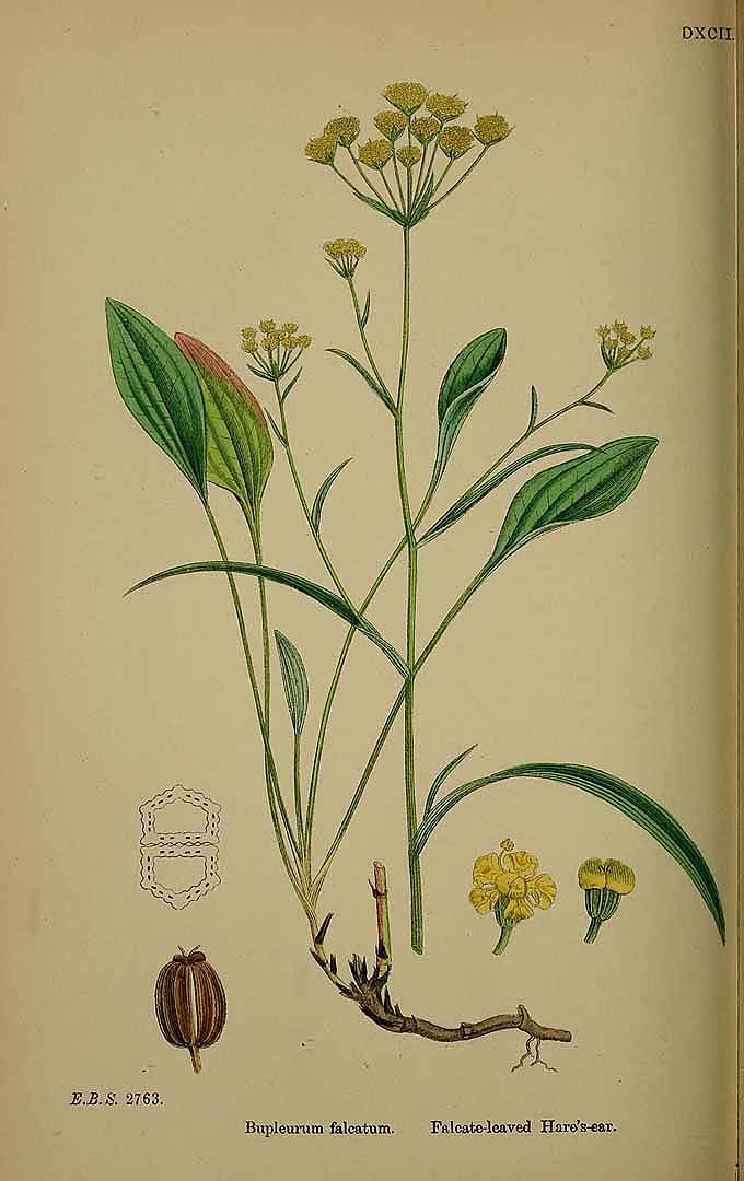 154450 Bupleurum falcatum L. / English Botany, or Coloured Figures of British Plants, ed. 3 [B] [J.E. Sowerby et al], vol. 4: t. 592 (1865)
