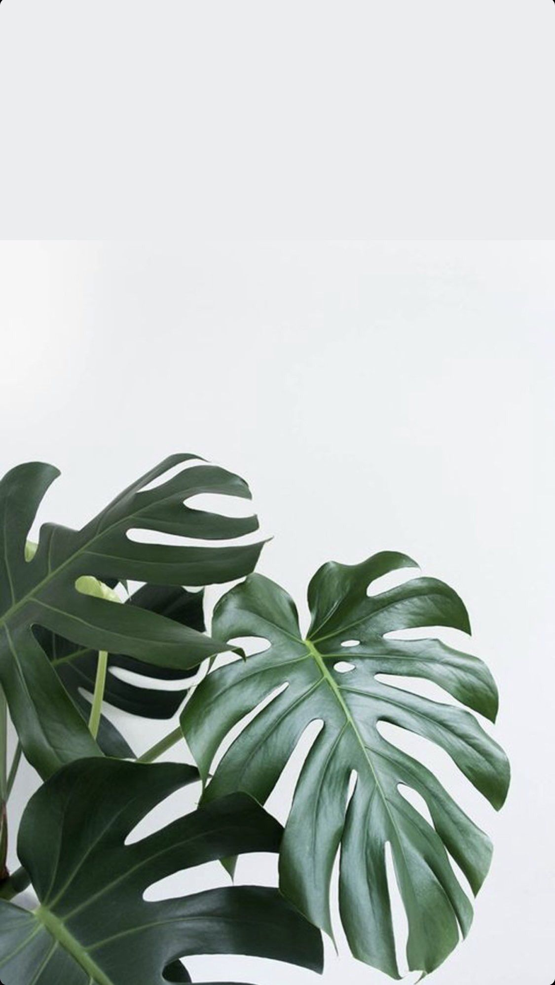Monstera Deliciosa Flower Leaf Green Plant Botany Plant Wallpaper Leaves Wallpaper Iphone Plant Aesthetic
