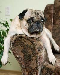 Pug Names For The One Of A Kind Male Or Female Pug Names Pugs