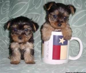 Teacup Yorkie Poo Puppies Yorkie Pups 400 Yorkie Poos Shorkies