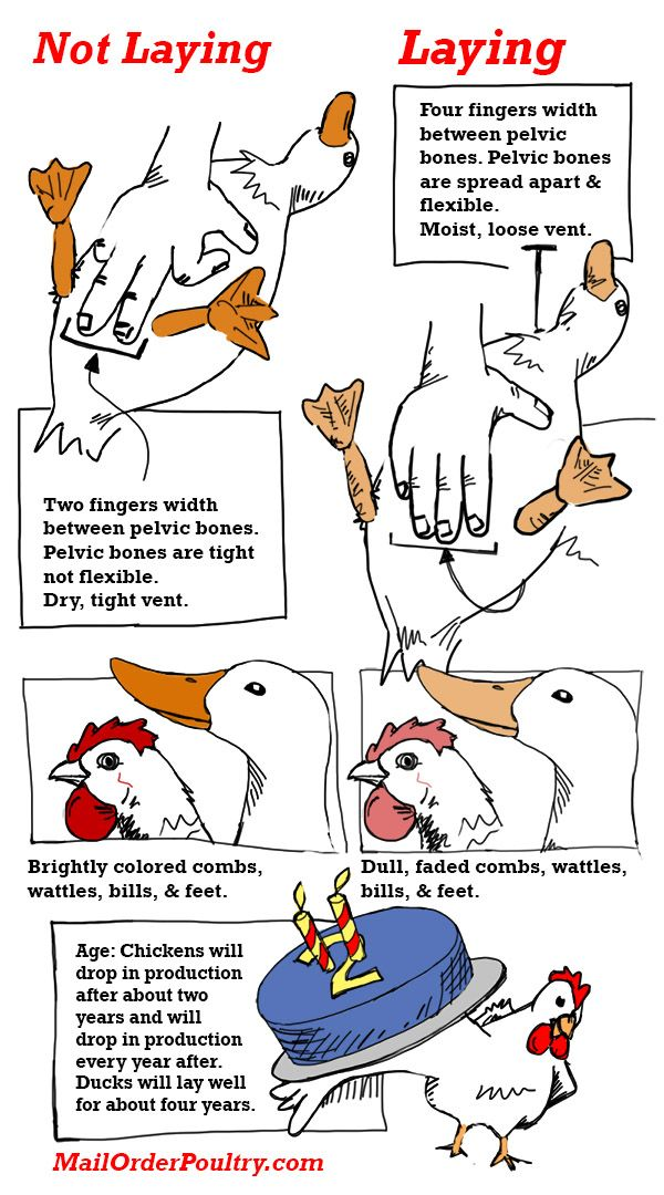 Dorable Chicken Anatomy Model Photo Anatomy Ideas Yunokifo