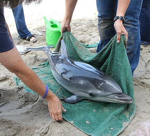 Critters Need Saving Too Volunteer Marine Mammal Rescue In Malibu