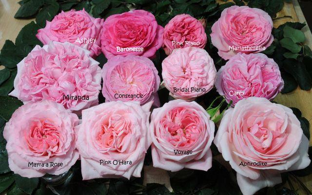 garden roses. Garden Roses / Colombia Alexandra Farms M