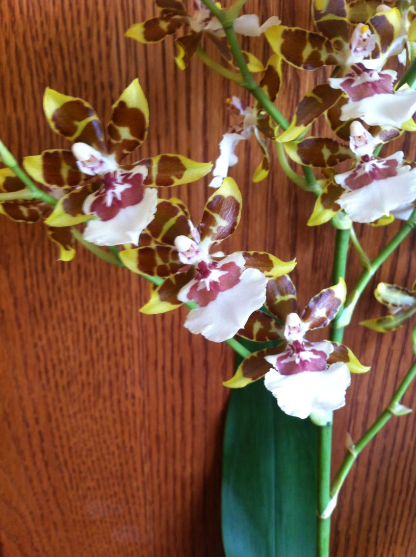 Oncidium orchid our interesting plants pinterest orchids and