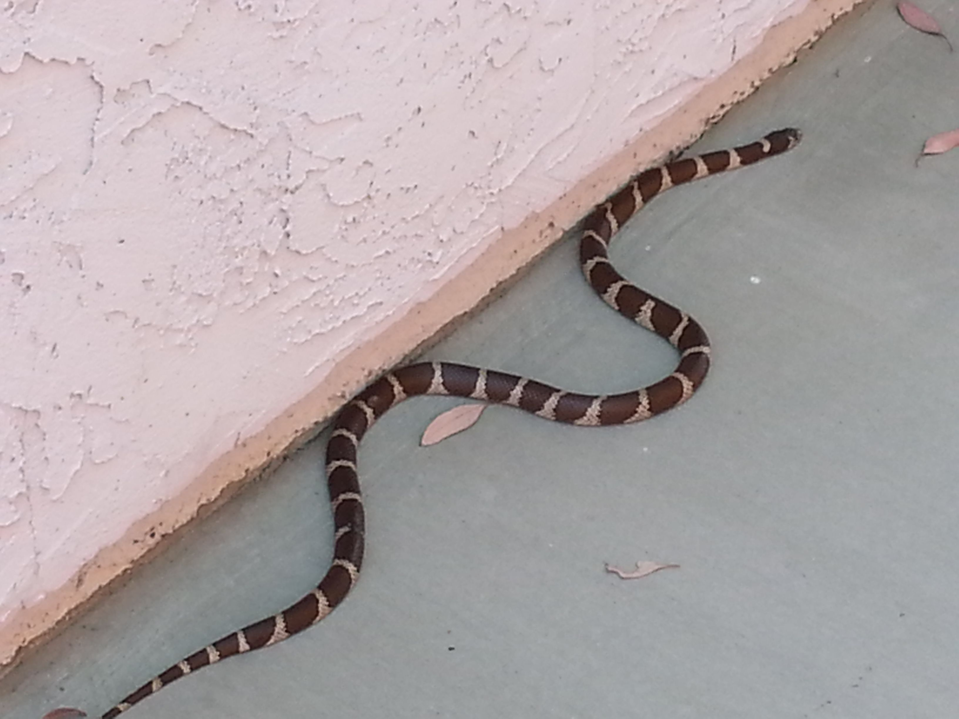 california king snake in our backyard wildlife around san diego