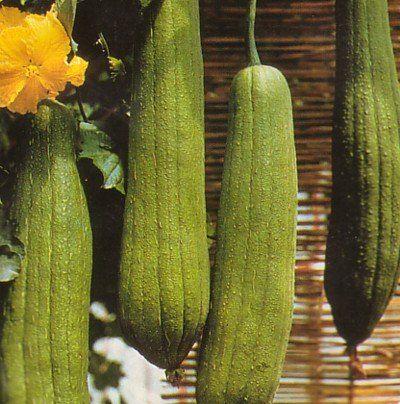 Luffa Bathroom Sponge 10 Seeds - Gourds!: Patio, Lawn & Garden  Luffas from gourds!!!!!  COOL!!!