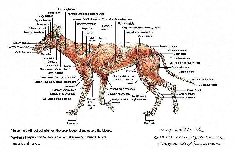 Dog Anatomy Diagram Organs Find Wiring Diagram