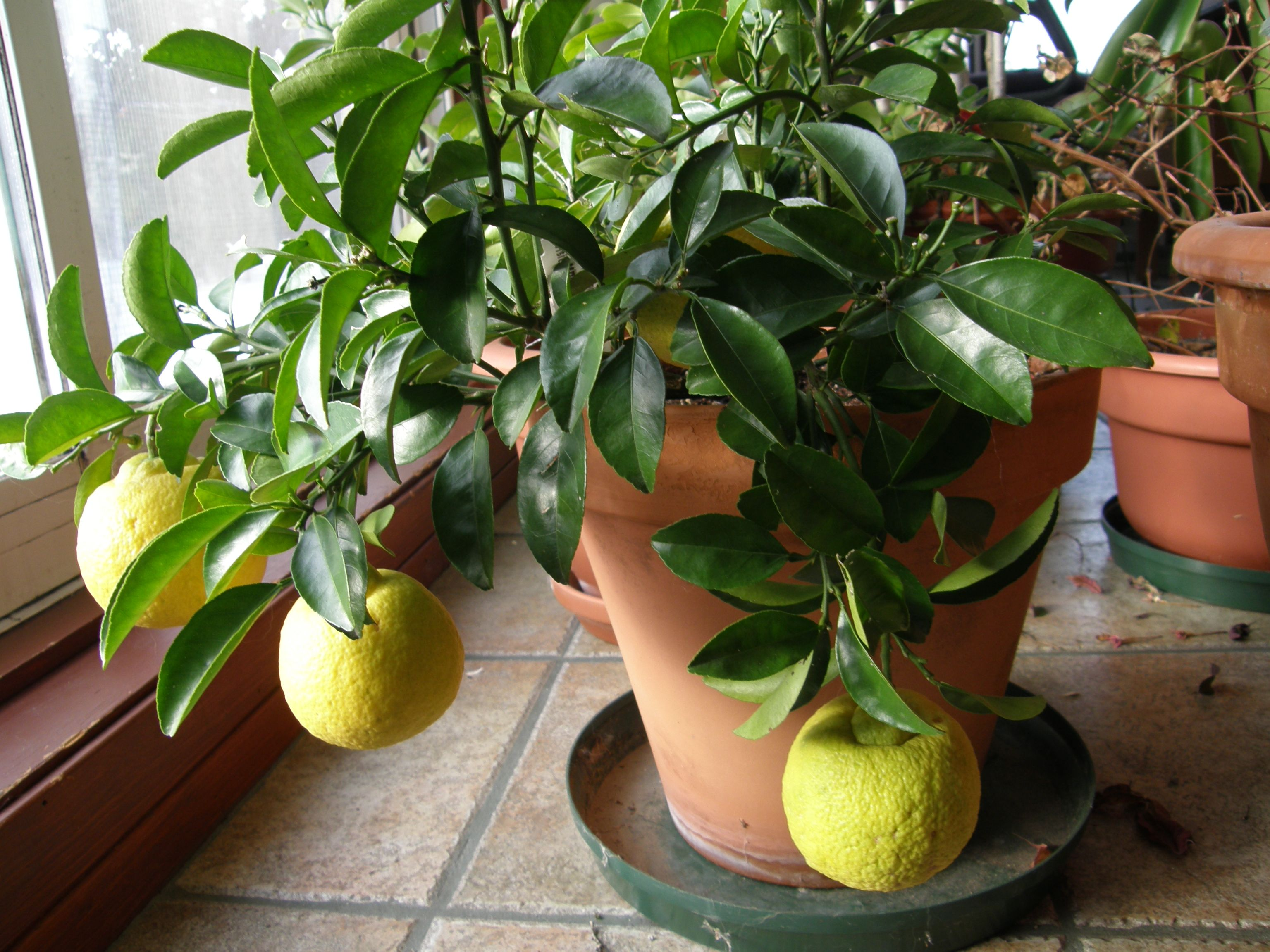 Citronnier Meyer En Pot Jardins Plante Citronnier