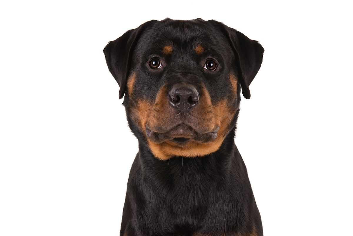 Rottweiler Dog Breed Information Best Dogs For Families