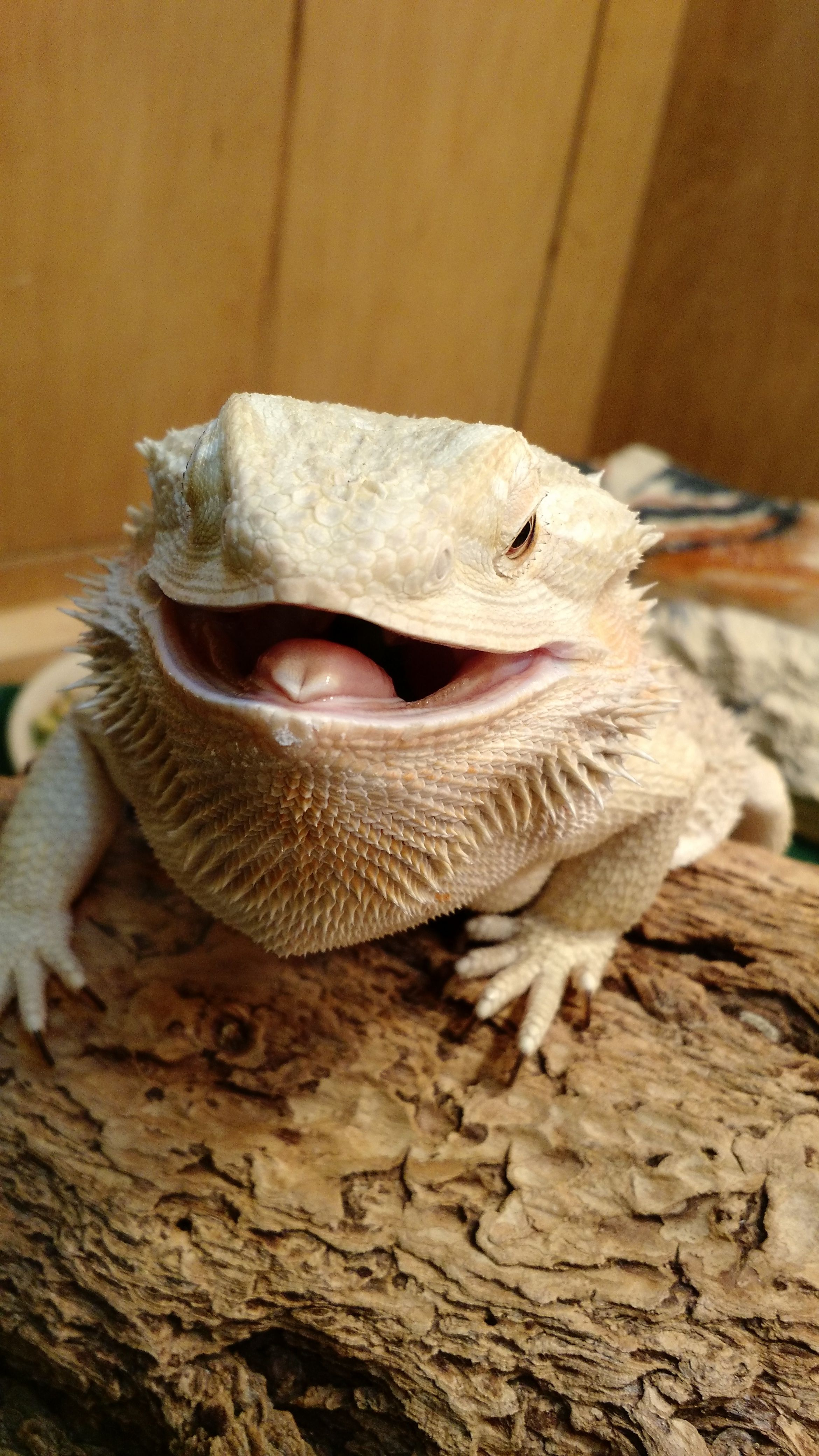bearded dragon friends are having babies meme