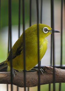 Ciri Burung Pleci Jantan Betina Paruhnya Panjang Tebal Gambar Burung Betina Gambar