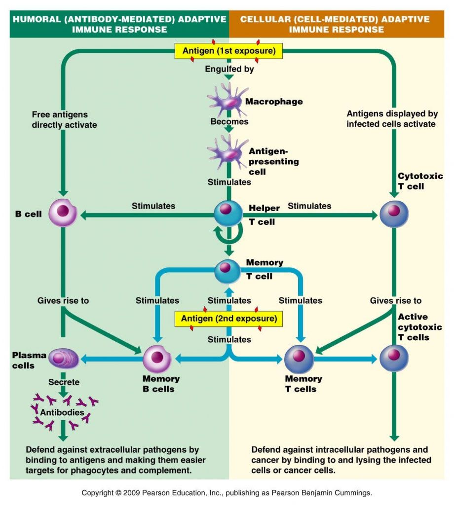 Human Immune Response Diagram Search For Wiring Diagrams