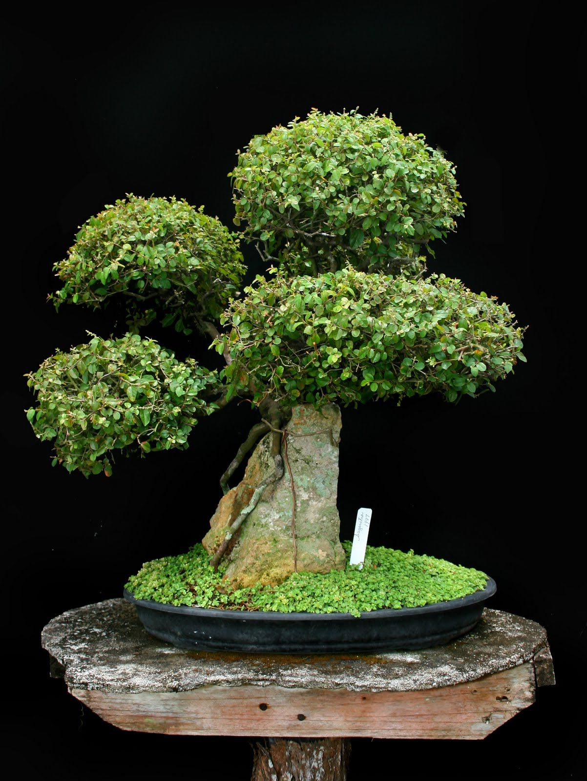 bonsaipam julio 2011 m s bonsai pinterest miniatur b ume und bilder. Black Bedroom Furniture Sets. Home Design Ideas