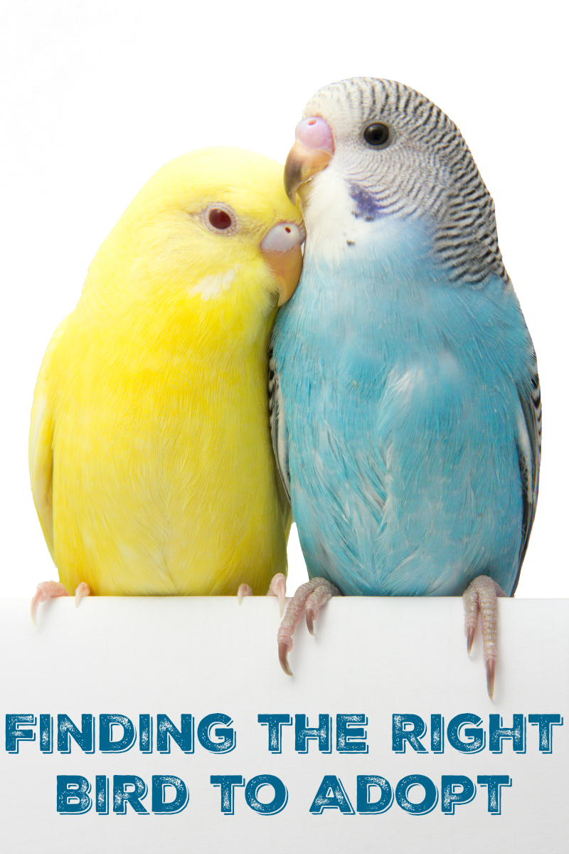 Finding the Right Bird to Adopt Best pet birds, Pet