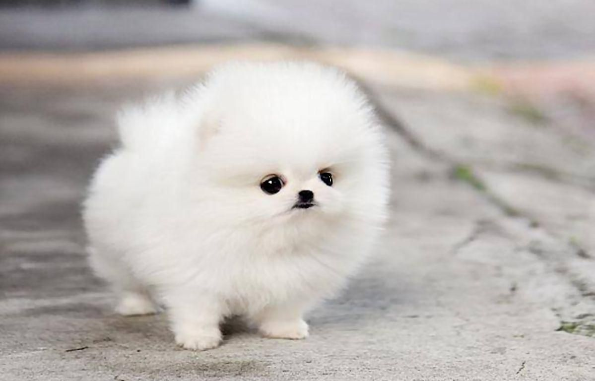 White Teacup Pomeranian Wallpaper Animals Pinterest Cute