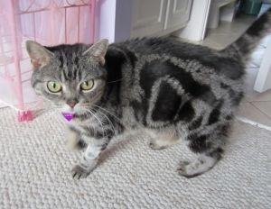 Adopt Brit British Shorthair On British Shorthair British