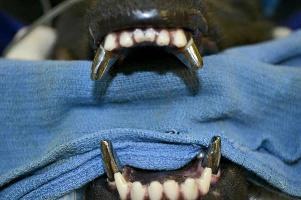 Titanium Canine Teeth For Military Dogs Who Lose Teeth During Service Wow Dog Teeth Military Dogs Police Dogs
