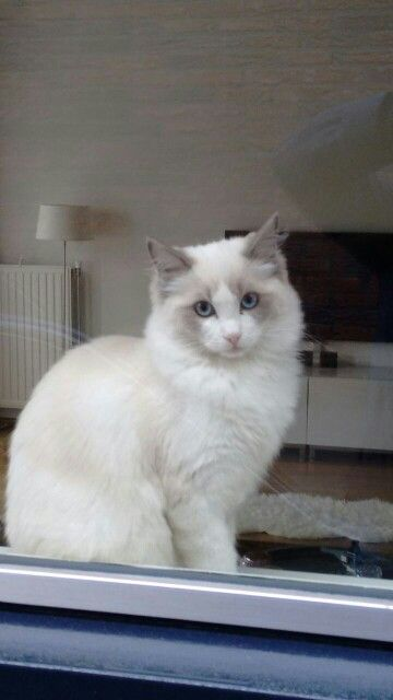 Ragdoll Puppylook I Really Want To Go Outside As Well Ragdoll Cat Cute Cats And Dogs Pretty Cats