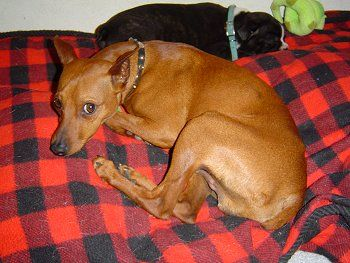 I Have A Red Min Pin Like This And She Is Such A Good Dog