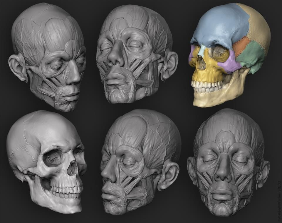 Biomechanical Study of Leptarctus Skull | AMNH