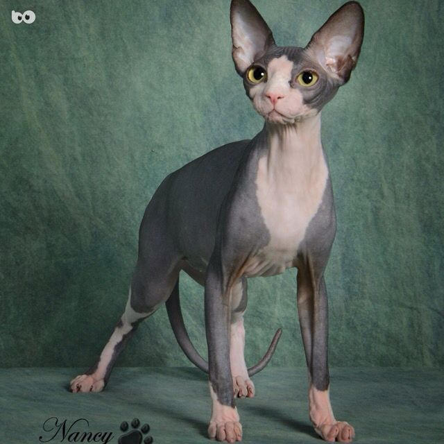 I love this cat! #sphynx #sphynxcat