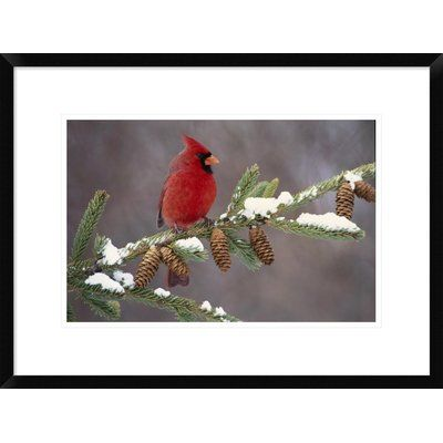 Global Gallery Northern Cardinal, South Lyon, Michigan by Steve Gettle Framed Photographic Print Size: