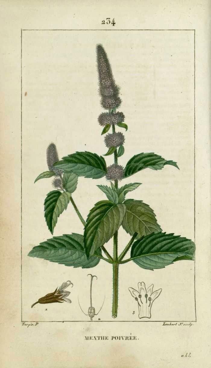 Menthe Poivree Illustration Botanique Fleurs Menthe Dessin Fleur