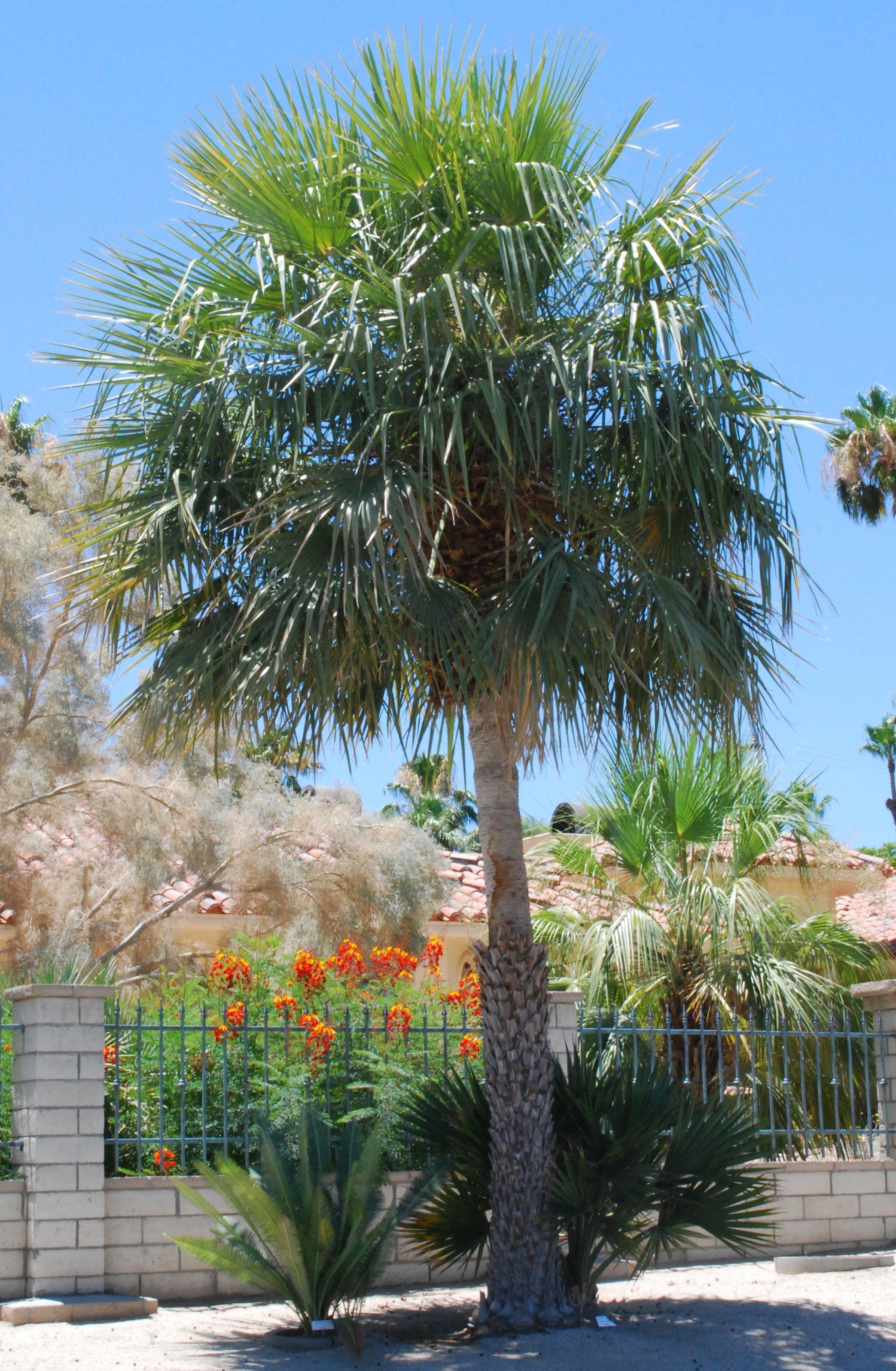 Copernicia Alba Palm Desert