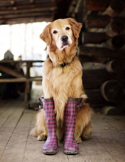 Golden Lab Wearing Rain Boots 2 Cute Cute Animals Baby