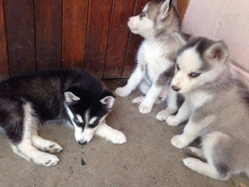 Siberian Husky Puppies Delft Gumtree South Africa 164739886