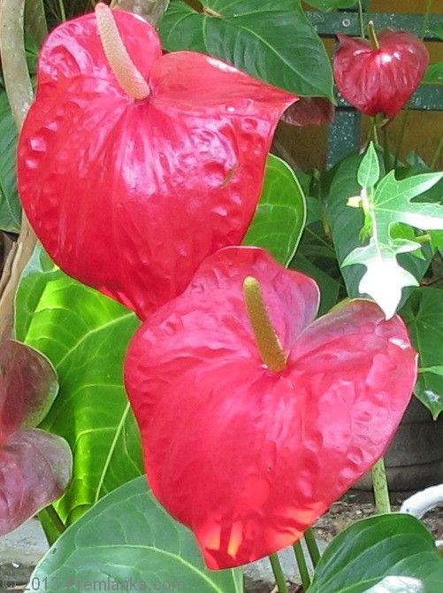 English Speaking Family Run Premlanka Hotel Dickwella Beach Southern Sri Lanka Home Page Dikwella Matara Sri Lanka Anthurium Tropical Birds Plants