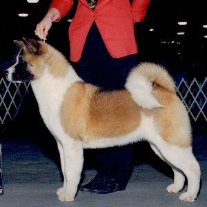 Candy Mariah S Nice Red And White With Split Mask American Akita