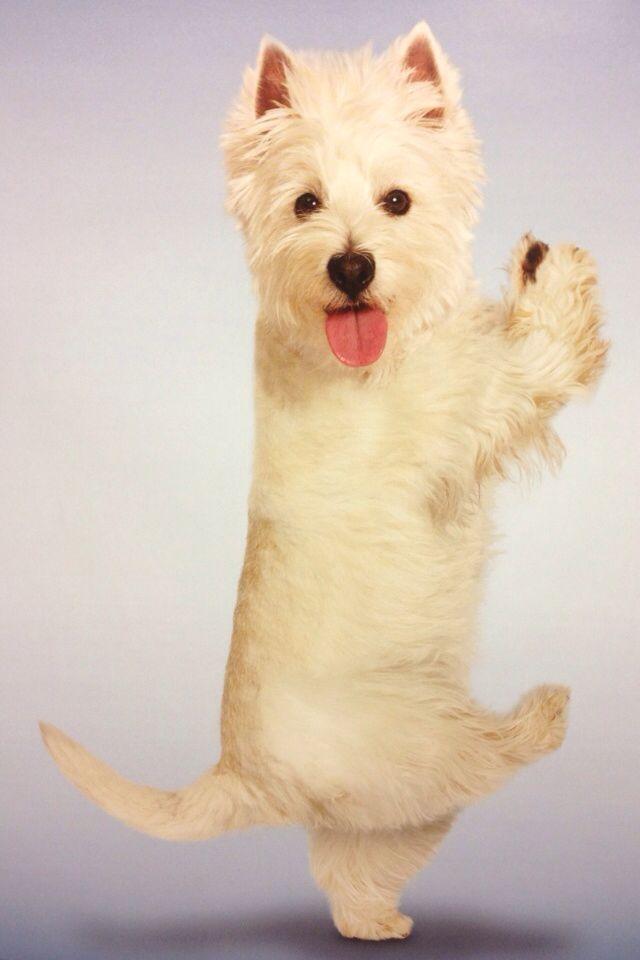 Westie Yoga Westie Dogs Westie Terrier Westies