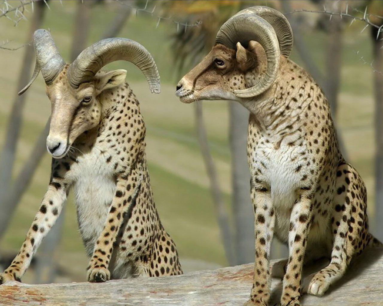cheetah lion hybrid - Google Search | Funny | Pinterest ...