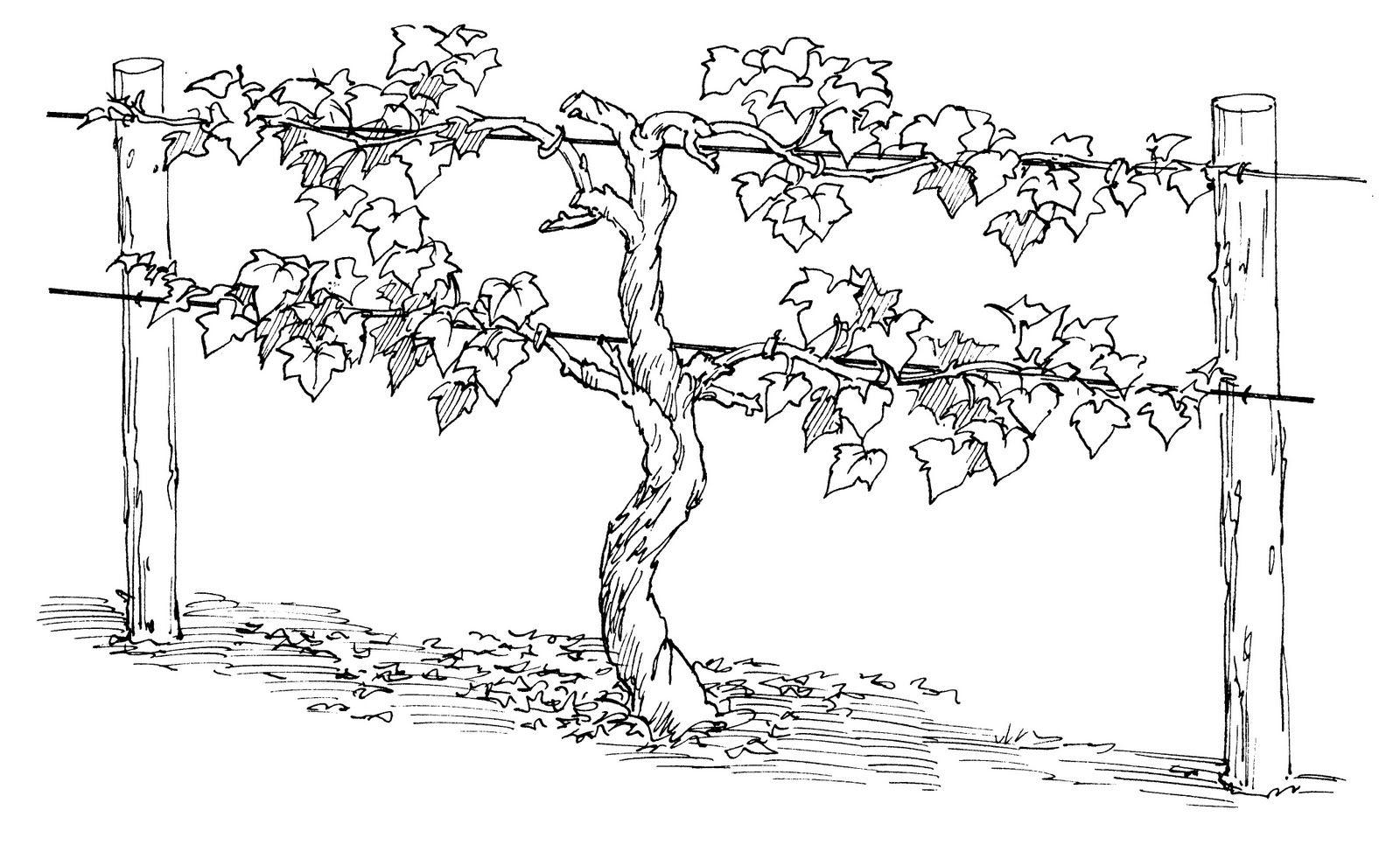 Coloring Page I Am The Vine Vine Drawing Grape Vines Grape Trellis