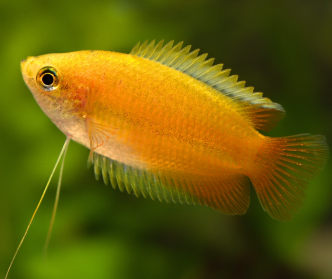 Another New Product On Our Store Now Honey Gourami Tr Check It Out Here Http Www Freshnmarine Co Fresh Water Fish Tank Aquarium Fish Aquarium Fish Tank