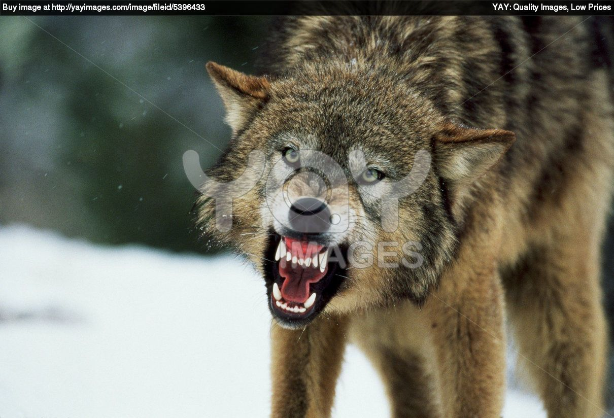 Royalty Free Image Of Snarling Gray