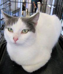 Adopt Clara On Cats Short Hair Cats Animal Shelter