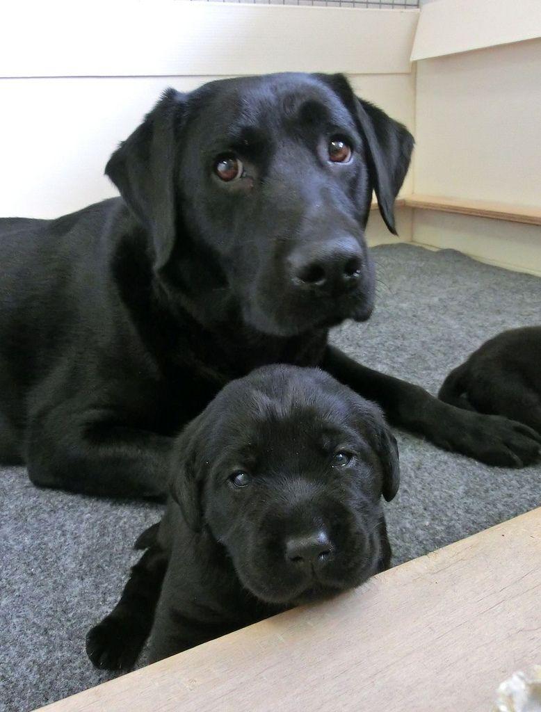 Mother Chocolate Labrador Retriever Dog And Her Puppy With Images Labrador Retriever Lab Puppies Labrador Retriever Dog