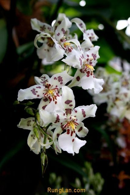 anh-cac-loai-hoa-phong-lan-dep-nhat-466416