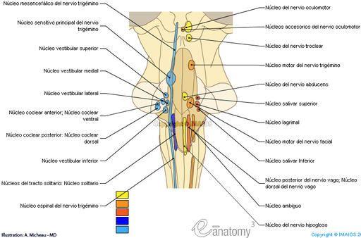 Núcleos de los nervios craneales - Tronco del encéfalo ./Cuarto ...