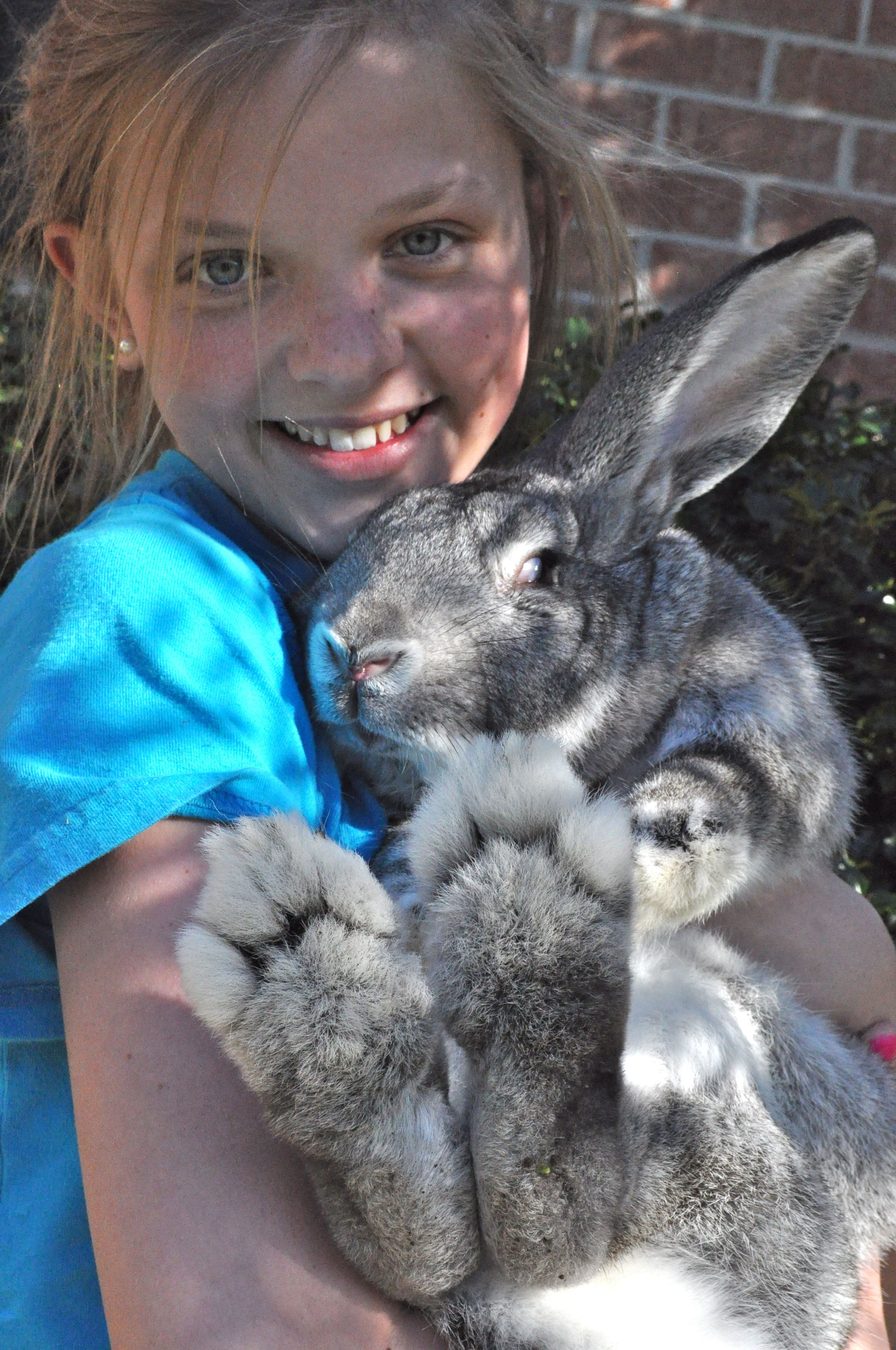 """This is Crosby a """"baby"""" Flemish Giant and a therapy bunny"""