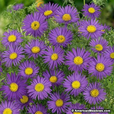 Prairie Aster Seeds Wildflower Seeds Organic Gardening Tips Wild Flowers