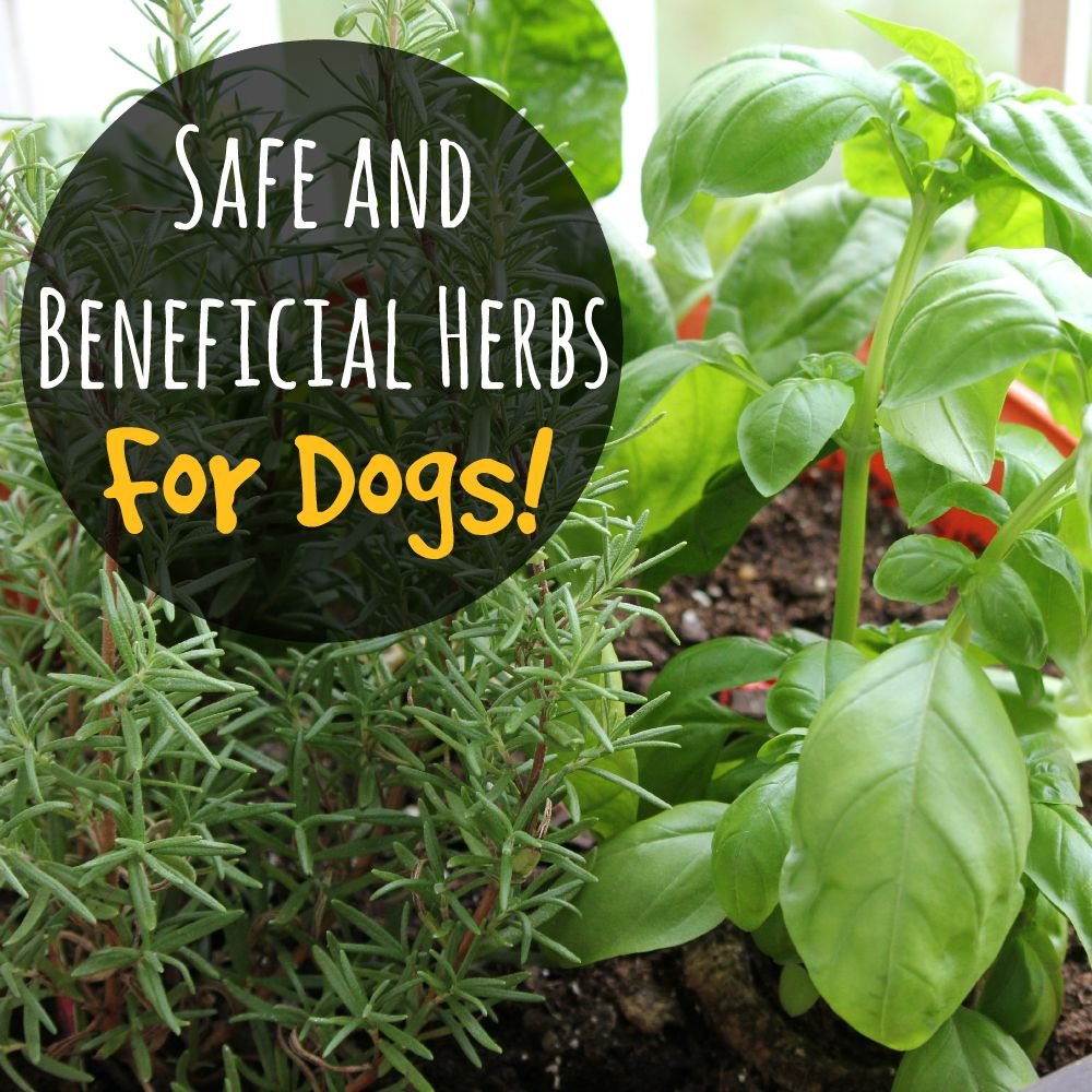Safe and Beneficial Herbs for Dogs Indoor plants pet