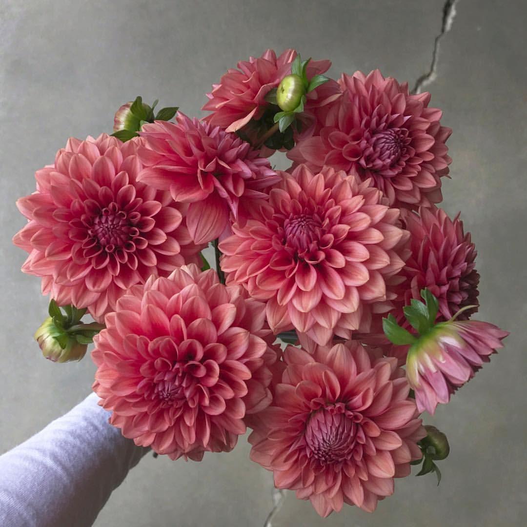 Mystique Dahlias Swanislanddahlias Swans Island Dahlia Flowers
