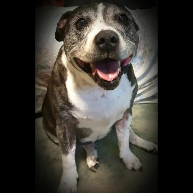 Sora Medium Female Staffy Mix Dog in NSW PetRescue